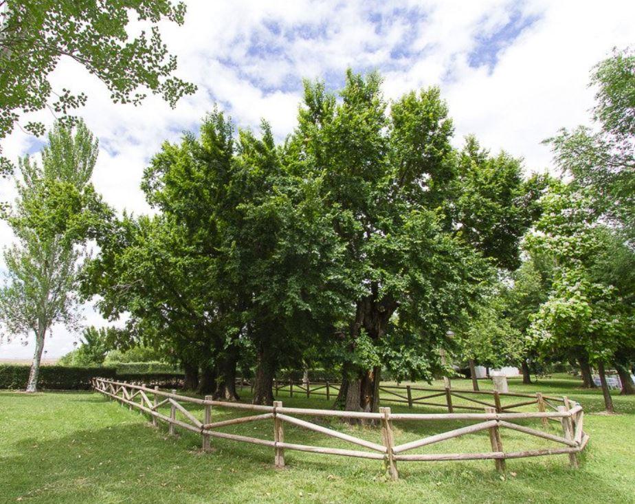 elm tree spain